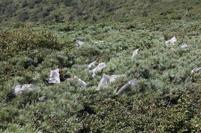 20일 설악산 중청대피소 인근 눈잣나무 자생지. 잣까마귀, 다람쥐 등이 눈잣나무 열매를 먹는 것을 막으려 철망을 씌워놓았다. 박종식 기자 anaki@hani.co.kr