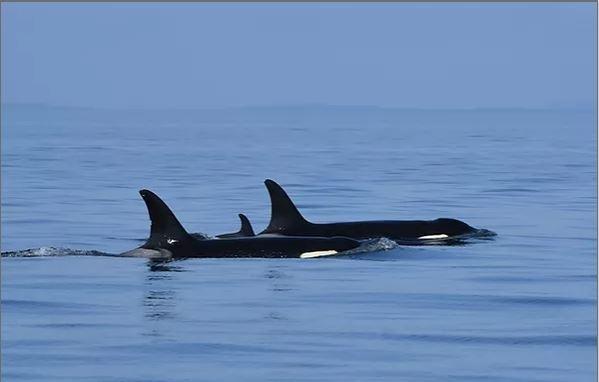 범고래 탈레쿠아와 그의 새끼범고래(J57)가 다른 범고래와 함께 헤엄치고 있다.[미국 고래연구센터 제공. 재판매 및 DB금지.]
