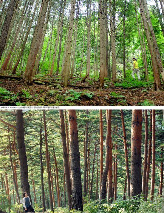 완주 공기마을 편백나무숲(위)과 울진 소광리 금강소나무숲길(아래)