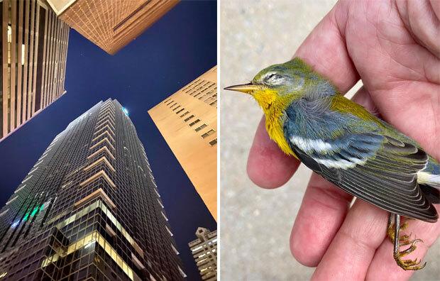 미국 필라델피아에서 철새 1500여 마리가 단체로 빌딩숲을 들이받았다./사진=스티븐 마제스키/오듀본 협회 페이스북