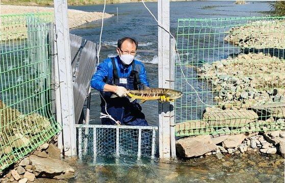 지난 7일 울산의 태화강생태관이 태화강 중류에서 산란을 위해 돌아온 연어 1마리를 발견했다. [사진 울산 울주군]