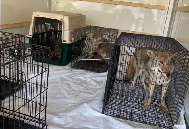 미국 미시간주 '하울링 팀버스 동물 보호소'에서 사육된 '늑대개' 등 동물들. [미시간주 천연자원부 제공. 재판매 및 DB 금지]