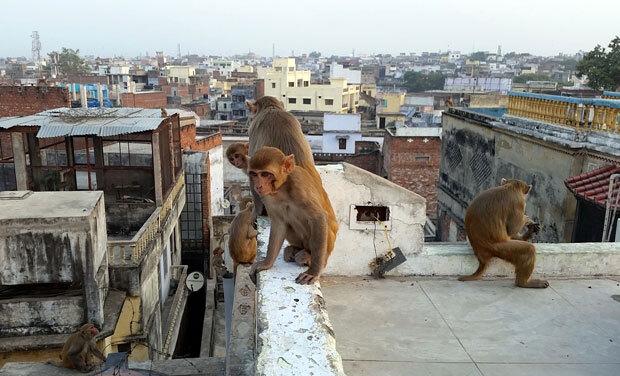 인도 바라나시 지역 가옥에 원숭이떼가 모여 있다. 전문가들은 인도 경제발전과 함께 주택 수요가 폭증하면서 원숭이 서식지가 파괴됐고, 이 때문에 난폭해진 원숭이가 사람을 공격하는 일이 잦아진 것으로 분석하고 있다./사진=픽사베이