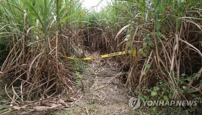 한인 시신 발견된 필리핀 사탕수수밭 한국인 남녀 3명이 2016년 11일 머리에 총상을 입고 숨진 채 발견된 필리핀 바콜로 지역의 한 사탕수수밭. [경찰청 제공=연합뉴스 자료 사진]