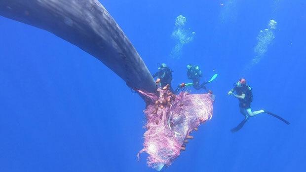 지난해 7월 이탈리아 해안경비대 다이버들이 시칠리아 리파리제도 부근 바다에서 향유고래 꼬리에 걸린 그물을 풀어주던 모습./사진=로이터 연합뉴스