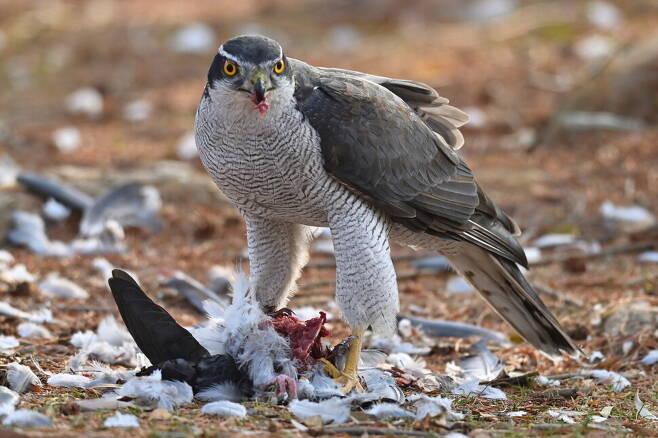지난달 23일 서울 올림픽공원의 산책로 근처에서 참매가 사냥한 비둘기를 먹고 있는 모습. 은밀한 숲 속의 사냥꾼이 도심에 진출한 이유는 뭘까.