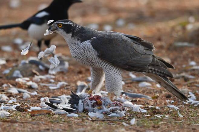 잡은 비둘기의 털을 서둘러 뜯는데 벌써 도시의 터줏대감 까치가 먹이를 엿본다.