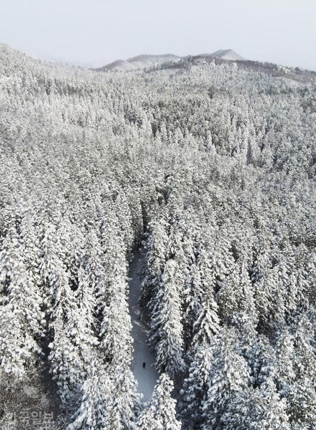 축령산 편백숲은 현재 산림청에서 '장성치유의숲'이라는 이름으로 관리하고 있다. 원뿔형 나무에 눈이 쌓이면 이국적인 설경을 즐길 수 있다.