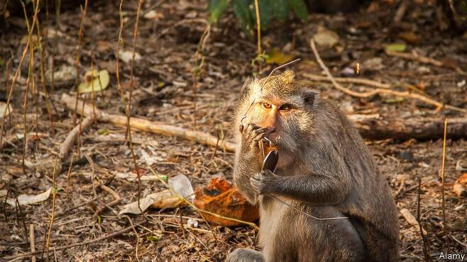 발리 울루와투 사원의 마카크 원숭이. 트위터 캡처.