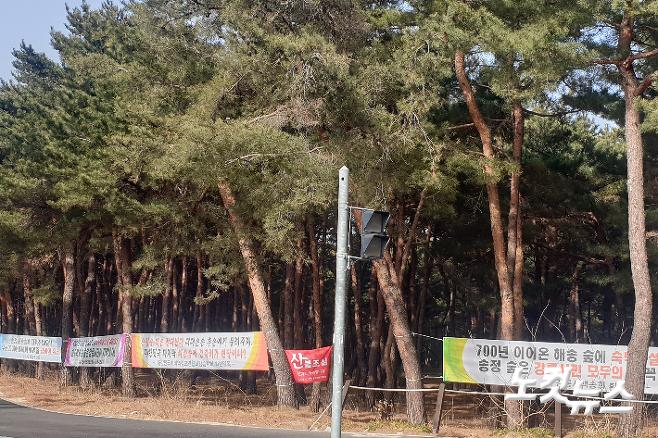 14일 강릉 송정동 해송 숲 일대에 개발행위를 반대하는 내용의 현수막이 곳곳에 게시돼 있다. 전영래 기자