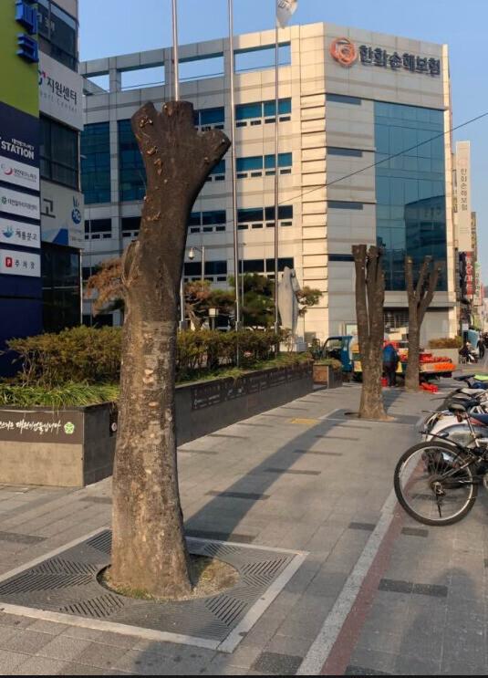 대전 중구 테크노파크 앞 가로수들. 이런 나무들은 절단면을 통해 세균이 침투해 나무가 썩고 전복될 수도 있다.