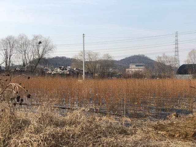3일 오후 경기 시흥시 과림동의 LH 직원이 사전 정보를 이용해 매입한 것으로 추정되는 밭. 버드나무 묘목 수백그루가 심어져 있다. 이승엽 기자