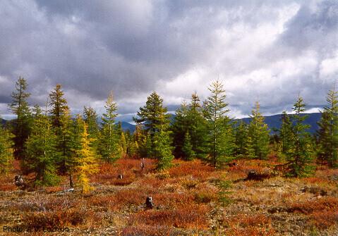 자작나무와 떨기나무로 덮인 콜리마 강 유역의 풍경. 아나톨리 로스킨, 위키미디어 코먼스 제공