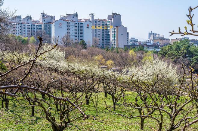 중랑캠핑숲의 배나무, 과수원이던 옛 모습을 살렸다. 이하 서울관광재단 제공