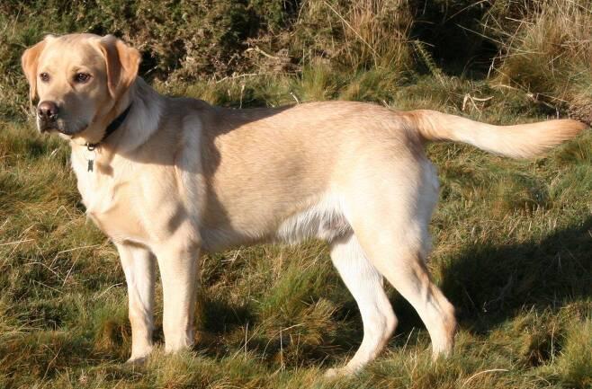 24품종 중 가장 공격성이 약한 개로 조사된 래브라도 리트리버./위키미디어