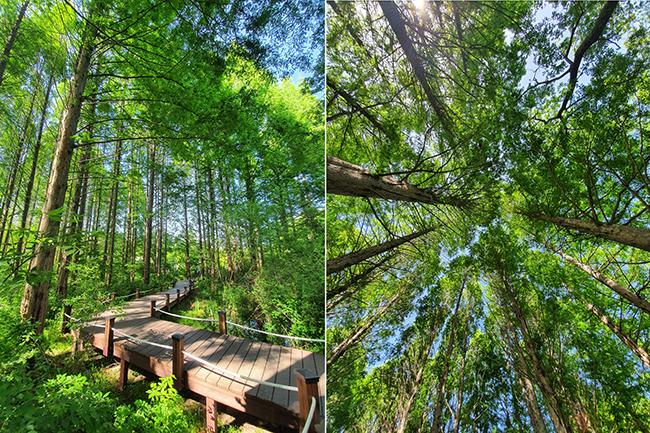 물향기수목원 내 중부지역자생원 산책로(왼쪽). 오른쪽은 산책로 데크에서 올려다 본 모습이다. /사진=송경은 기자