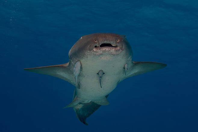 뱀상어와 함께 허리케인을 피하지 않은 대서양수염상어는 강인하고 스트레스에 잘 견디는 것으로 알려졌다. 위키미디어 코먼스 제공.
