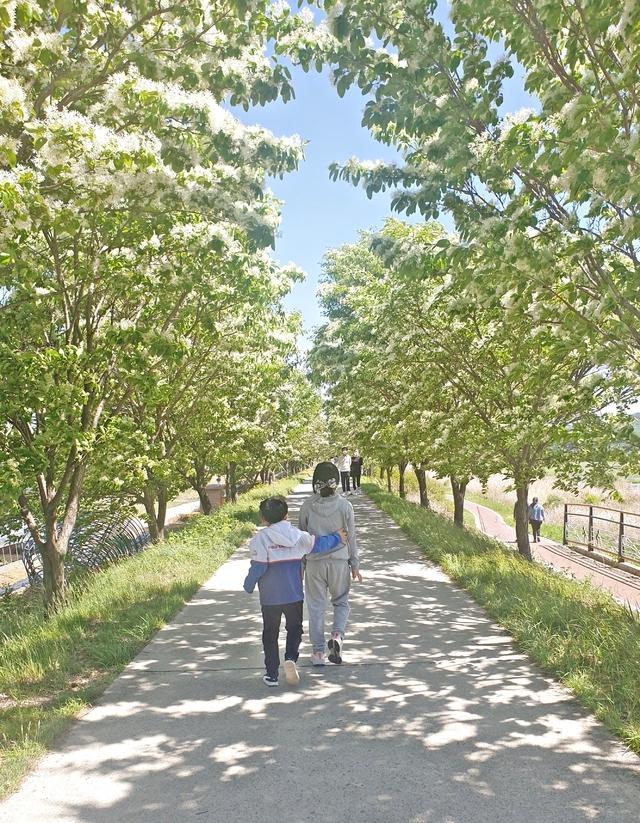 [진천=뉴시스]진천읍 성석리 도로변에 활짝 꽃 피운 이팝나무. (사진=진천군 제공) photo@newsis.com  *재판매 및 DB 금지