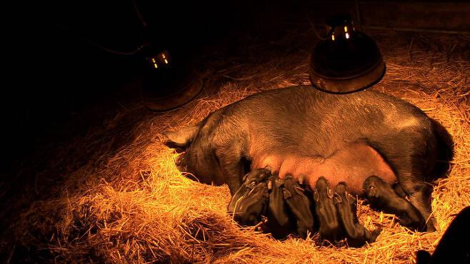 출처: 친환경 돼지농장 원가자농에서 새끼들에게 젖을 먹이고 있는 엄마 돼지 십순이. 영화 '잡식가족의 딜레마' 스틸