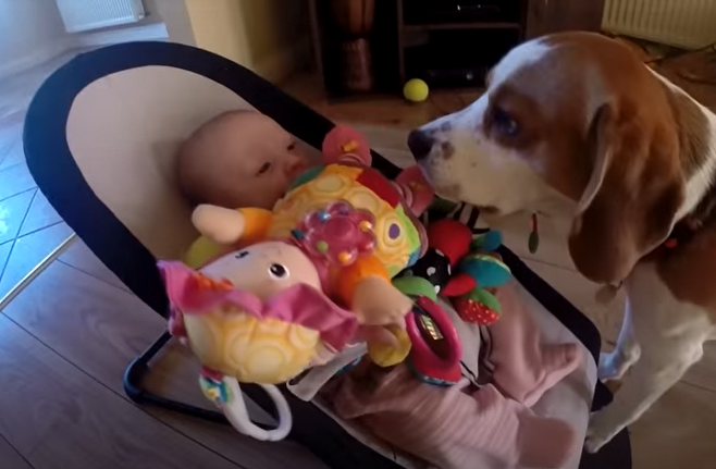 출처: https://wamiz.com/chiens/actu/ce-chien-vole-les-jouets-d-un-bebe-puis-tente-de-se-faire-pardonner-video-du-jour-5205.html