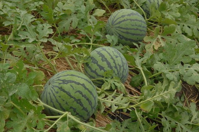 [세종=뉴시스]  기존 수박 재배 모습. (사진=농촌진흥청 제공) *재판매 및 DB 금지