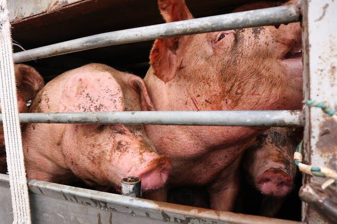 도살장 앞 트럭 안에서 몸부림 치며 상처 입은 돼지들의 모습. 사진 서울애니멀세이브 제공