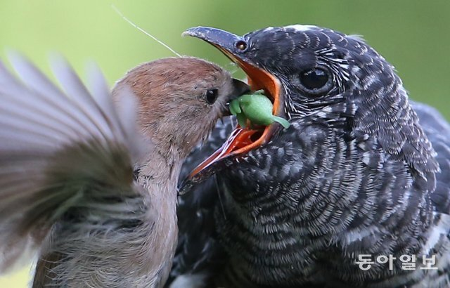 어미 뱁새(붉은머리오목눈이·오른쪽)가 '새끼'에게 먹이를 물어다주고 있습니다. 그런데 새끼는 자기보다 몸집이 4, 5배나 큰 뻐꾸기. 어미 뻐꾸기가 알을 다른 새 둥지에 낳다 보니 생긴 일입니다. 서울 과천시, 2018년 6월 15일 촬영.