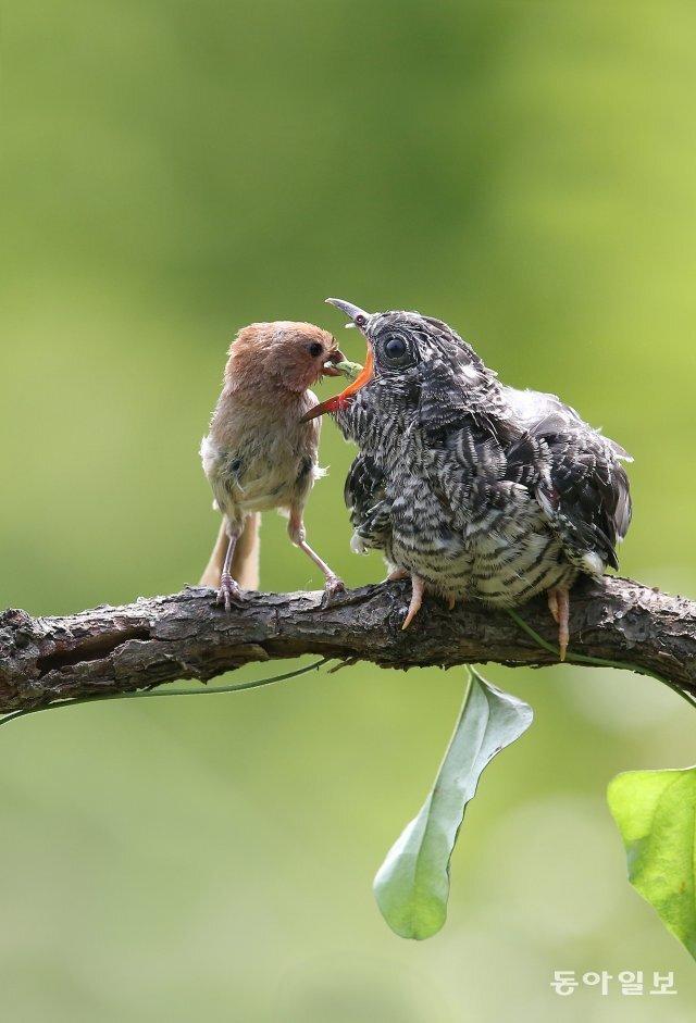 뱁새(붉은머리오목눈이)보다 몸집이 4~5배나 큰 뻐꾸기 새끼(오른쪽)가 뱁새 어미에게 먹이를 받아 먹고 있습니다. 경북 영천시, 2013년 8월 24일 촬영.