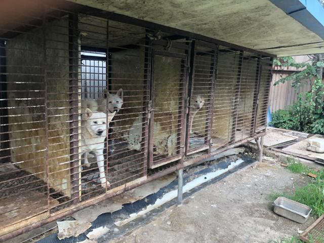 경기 김포시 개 도살장 옆 뜬장에서 길러지던 개들이 철창 밖을 바라보고 있다. 이 개들은 결국 구조되지 못했다. 동물구조119 제공