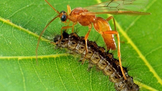 나방 애벌레에 알을 낳는 기생벌. 바이러스는 숙주인 나방 애벌레를 지키기 위해 기생벌 애벌레를 죽인다. 나방 애벌레에게 바이러스는 적의 적인 친구이다./미농무부 ARS