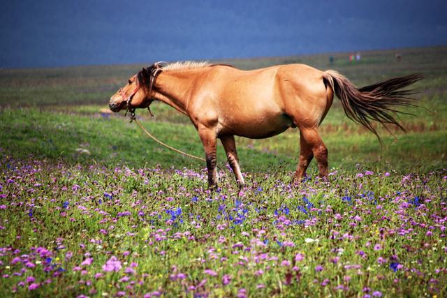 제비고깔과 오이풀 등 들꽃이 만발한 허베이성 공중초원은 여름철 피서지 명당이다. ⓒ최종명