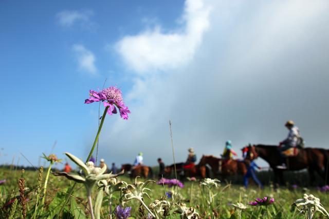 공중초원에 핀 솔체꽃과 에델바이스. ⓒ최종명