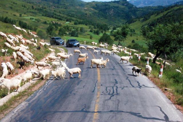 공중초원을 떠나 비호욕으로 되돌아가는 산길에서 만난 양떼. ⓒ최종명