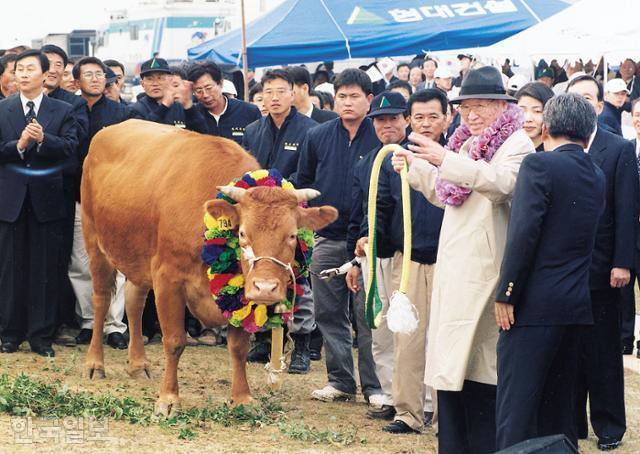 정주영 현대그룹 명예회장이 1998년 6월 북한으로 가는 수백 마리의 소들 중 한 마리에게 연결시킬 끈을 잡고 있다. 한국일보 자료사진