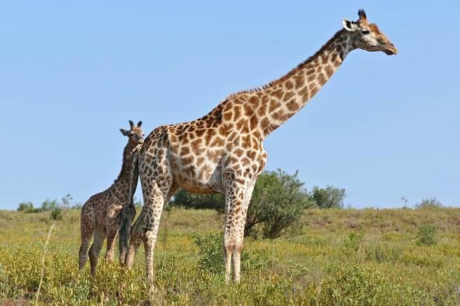 기린은 새끼를 극진히 돌보며 새끼가 죽으면 7일까지 물과 먹이를 먹지 않고 비통해 한다. 버나드 듀폰, 위키미디어 코먼스 제공