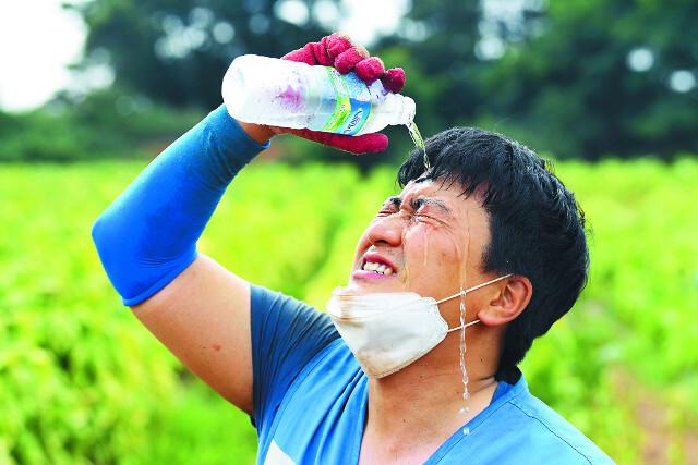 구슬땀을 흘리며 수확 작업을 하던 봉사단원이 잠시 마스크를 벗고 얼굴에 물을 뿌리며 더위를 식히고 있다.