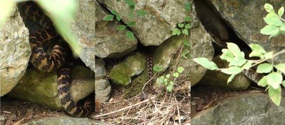 울산 간월재로 향하는 길에 만난 뱀. 독사인 살모사로 추정된다. 울산=백경서 기자