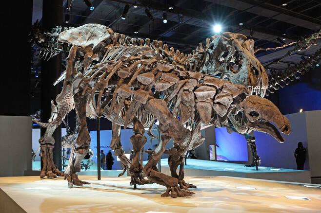 안킬로사우루스를 공격하는 티라노사우루스를 묘사한 골격 모형. 가시 뼈는 새로운 방어수단으로 진화했을 것이다. 위키미디어 코먼스 제공.