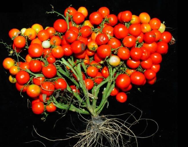 크리스퍼 유전자 가위 기술로 열매가 마치 포도송이처럼 열리도록 유전자를 교정한 방울토마토./미 콜드 스프링 하버 연구소