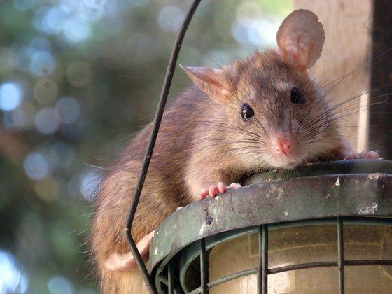허리케인 아이다가 지나간 이후 뉴욕에서 쥐의 생사를 놓고 의견이 갈리고 있다. [픽사베이]