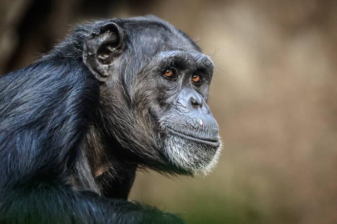 야생 침팬지 자료사진 123rf.com