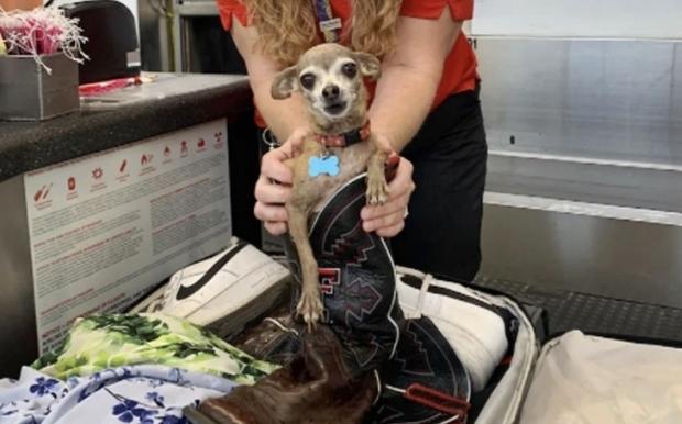 여행길에 오른 미국 부부의 수하물에서 개 한 마리가 쏙 머리를 내밀었다. 13일 워싱턴포스트는 주인 부부의 여행 가방에 몰래 숨어든 반려견이 공항에서 적발됐다고 보도했다.